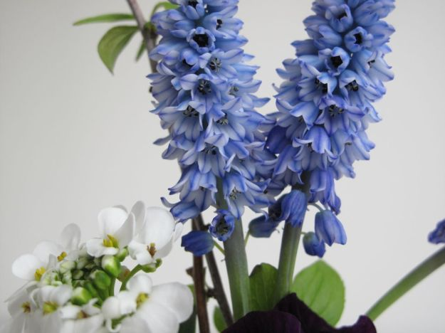Each flower forms an open bell - Pseudomuscari azureum (syn. Muscari azureum)