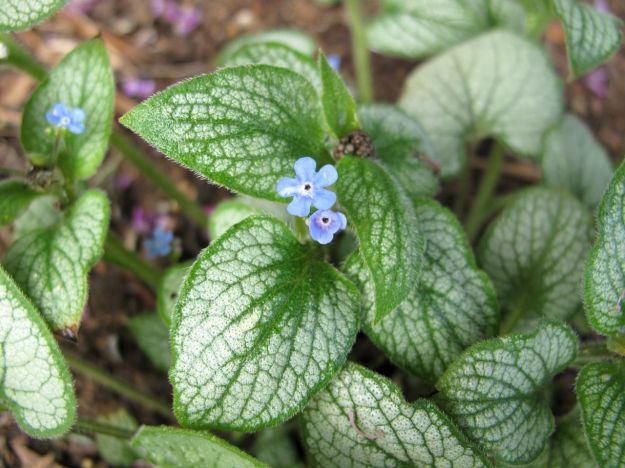 Brunnera macrophylla 'Silver Heart' (False Forget-Me-Not)