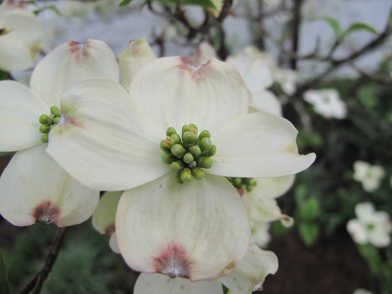Cornus florida (flowering dogwood)   pbmGarden
