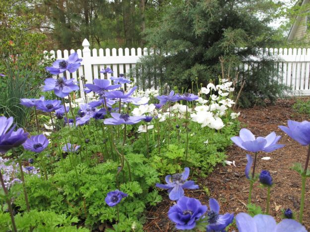 Fading Phlox subulata with Anemone coronaria 'Mr. Fokker' and 'Bride'