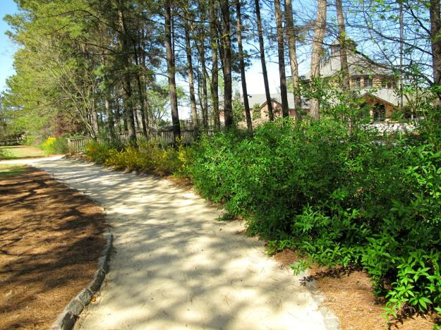 Sandy Path Along Forsythia Hedge