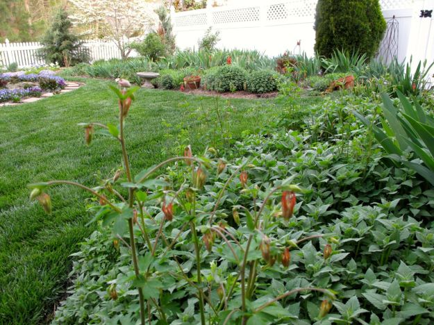 Garden View With Aquilegia canadensis (Eastern red columbine) underplanted with Monarda didyma (Scarlet Beebalm)