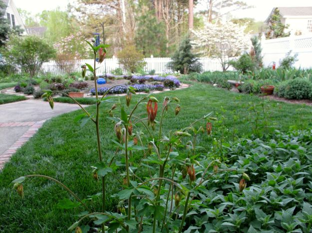 Garden View With Aquilegia canadensis (Eastern red columbine)