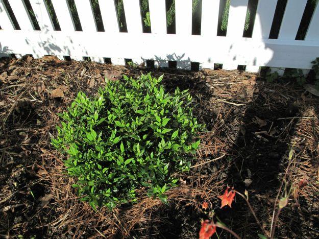 Gardenia jasminoides 'Frost Proof' (Gardenia 'Frost Proof')