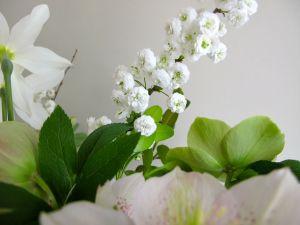 Spiraea prunifolia (bridal wreath spiraea)