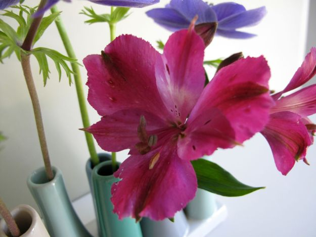 Alstroemeria x 'Tesmach' (Inticancha Machu Peruvian Lily)