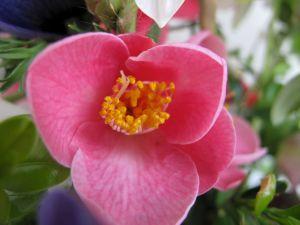 Camellia x 'Koto-no-kaori'