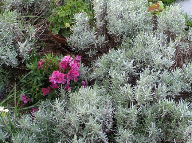 Alstroemeria x 'Tesmach' (Inticancha® Machu Peruvian Lily) with Lavandula x intermedia 'Dutch' (Dutch Lavender)