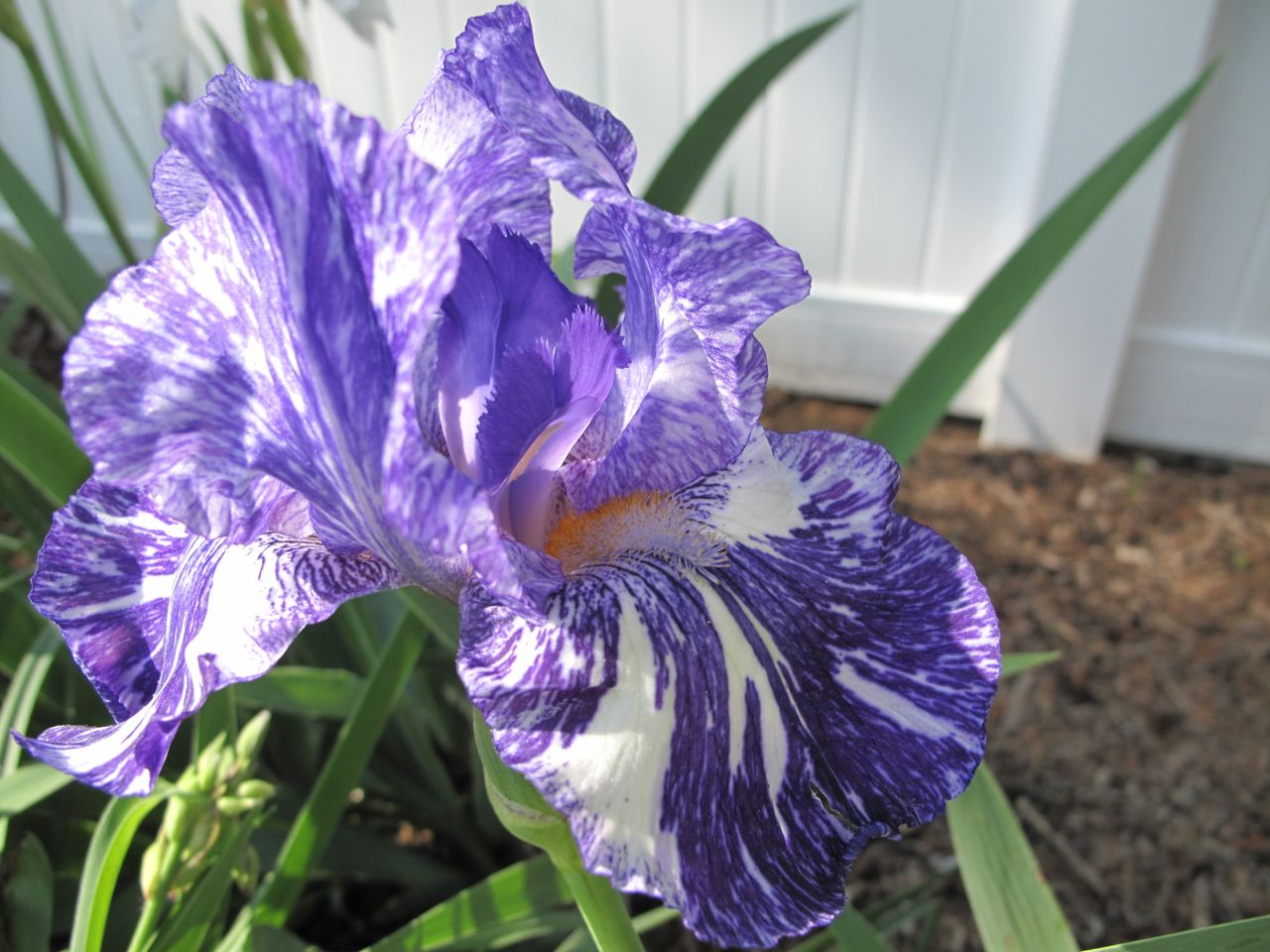 Spring garden pbmgarden - Iris germanica ...