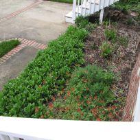 Leucanthemum x superbum (Shasta Daisy) near back steps