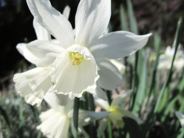 Narcissus 'Thalia' (Thalia Daffodil)