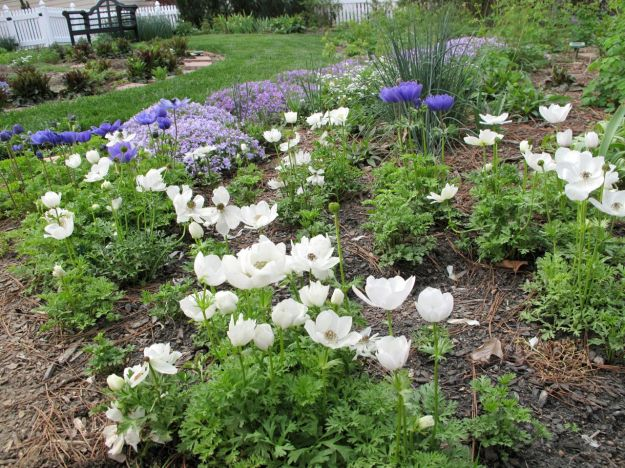 Phlox subulata (Moss Phlox) and Anemone coronaria 'Mr. Fokker' and 'Bride'