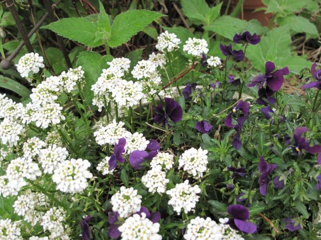 Iberis Sempervirens (Candytuft) and Viola