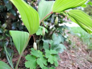 Polygonatum biflorum(Solomon's seal)