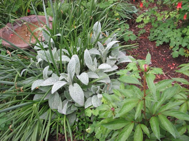 Stachys byzantina (Lamb's Ear) and Peony in Southern Border