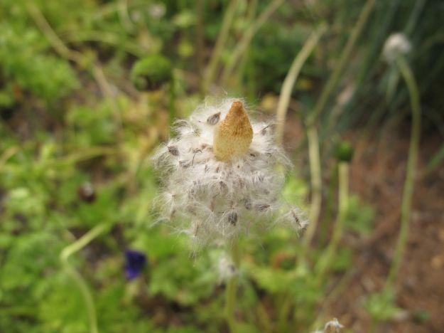 Anemone coronaria seedheads