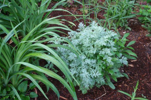 Daylily, Artemisia 'Powis Castle' (Wormwood), Rudbeckia fulgida (Orange Coneflower)