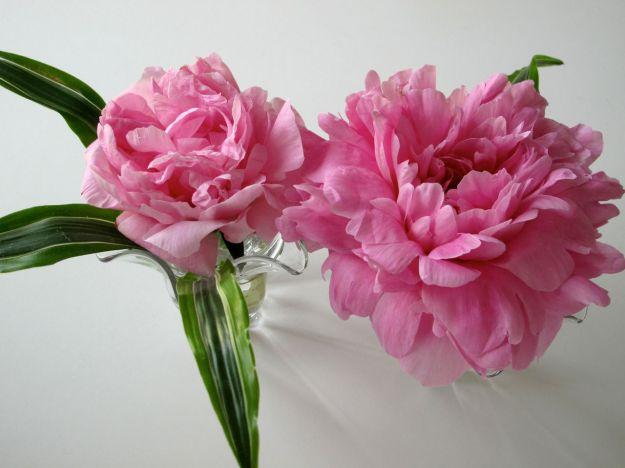 In A Vase On Monday - Paeonia 'Pink Parfait' (Pink Parfait Peony)
