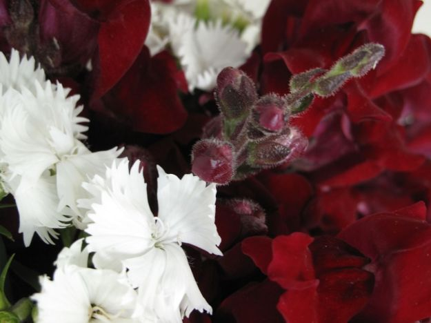 Dianthus and Snapdragon