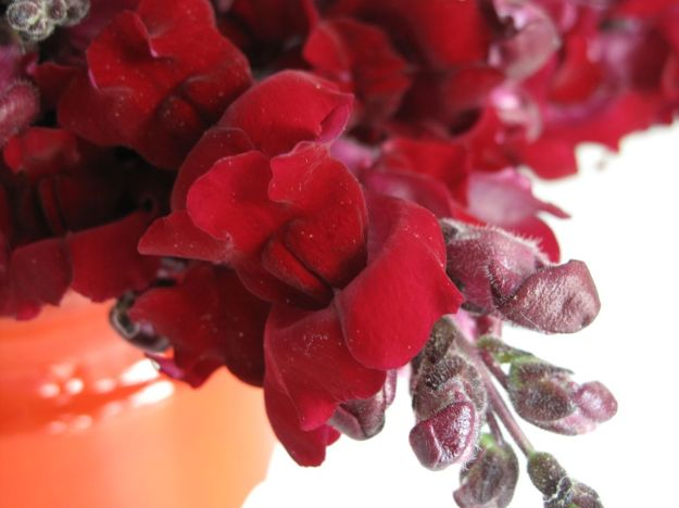 In A Vase On Monday - Snapdragons