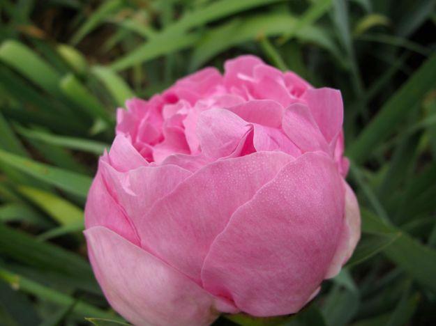 Paeonia 'Pink Parfait' (Peony)