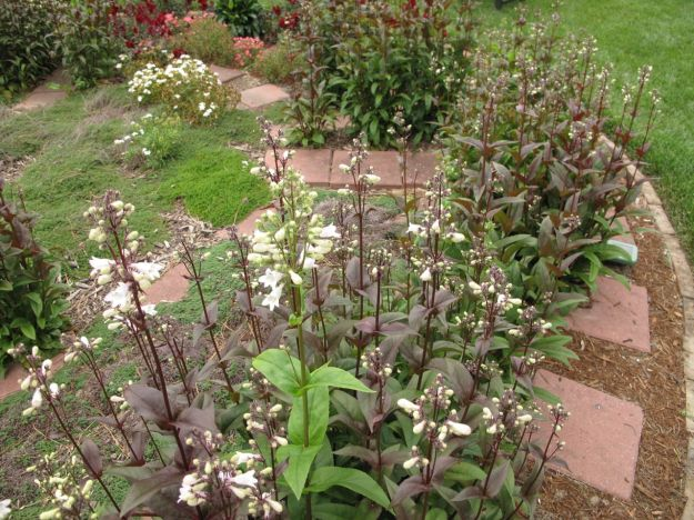 Penstemon digitalis 'Husker Red' (Beardtongue)-2