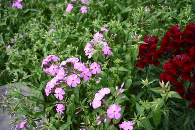 Phlox divaricata (Woodland phlox) and Antirrhinum majus (Snapdragon)