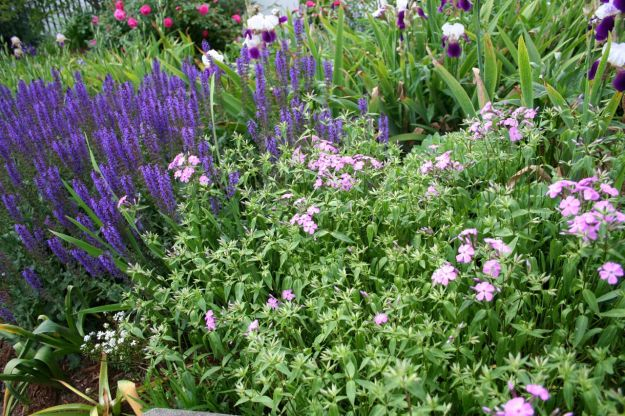 Salvia nemorosa 'May Night' (Hardy Sage) and Phlox divaricata (Woodland phlox)