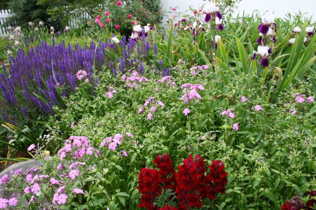 Salvia nemorosa 'May Night' (Hardy Sage), Phlox divaricata (Woodland phlox), and Antirrhinum majus (Snapdragon) and Iris