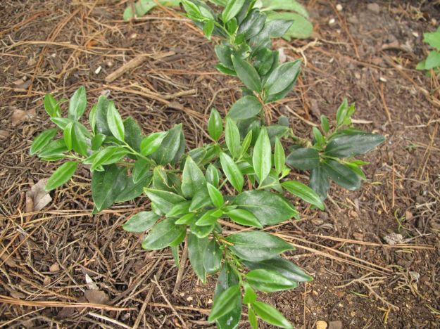 Sarcococca ruscifolia (Fragrant Sweet Box)