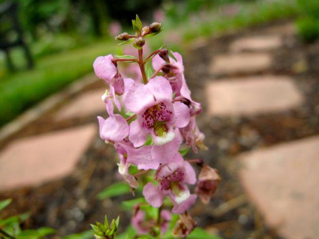 Angelonia 'Lavender'