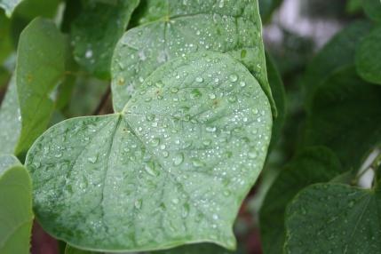Cercis canadensis L. (Eastern Redbud)