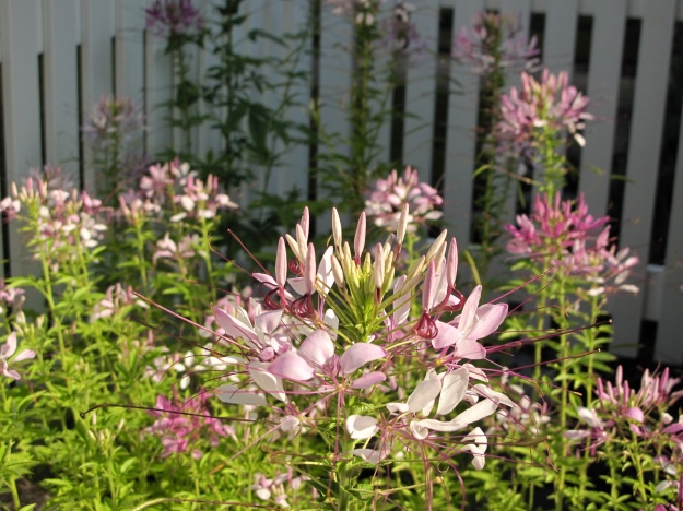 Sunny Patch of Cleome hassleriana (Spider Flower)