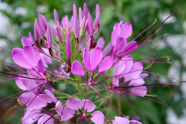Cleome hassleriana (Spider Flower)