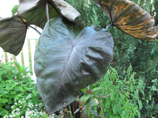 Colocasia Royal Hawaiian 'Black Coral'  (Black Coral Elephant Ear)