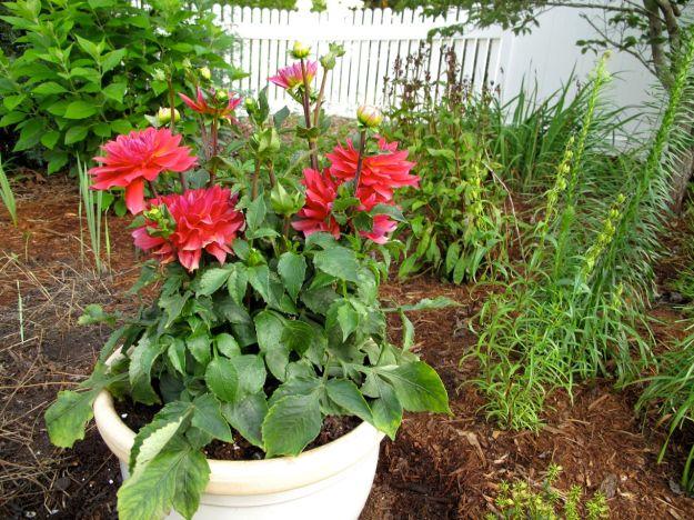 Dahlia 'Firepot'