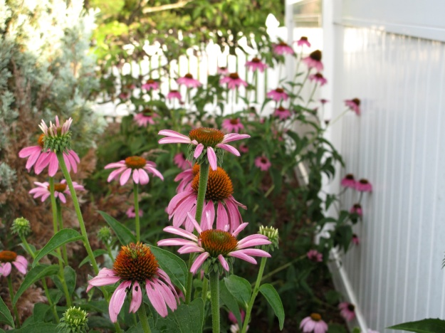 Echinacea purpurea (Purple Coneflower) Along Back of Northern Border