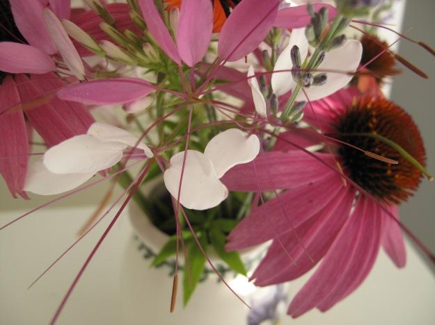 Cleome and Echinacea