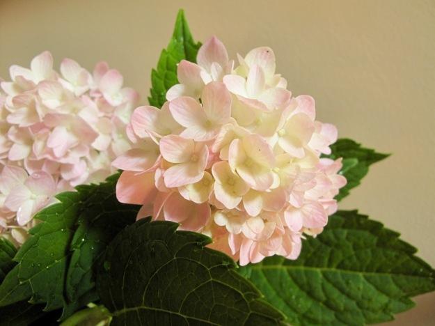 In A Vase On Monday-Hydrangea macrophylla