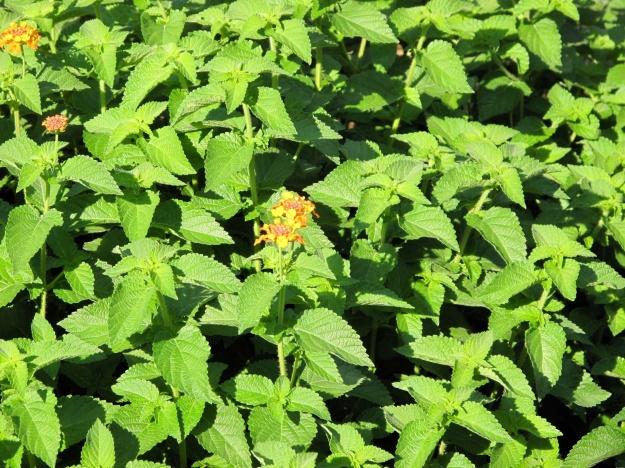 Lantana camara (Common lantana)