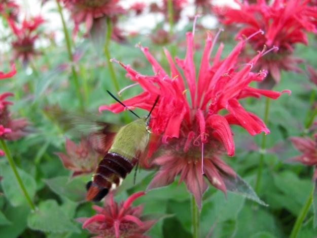 Hummingbird Moth on Monarda didyma (Scarlet Beebalm)