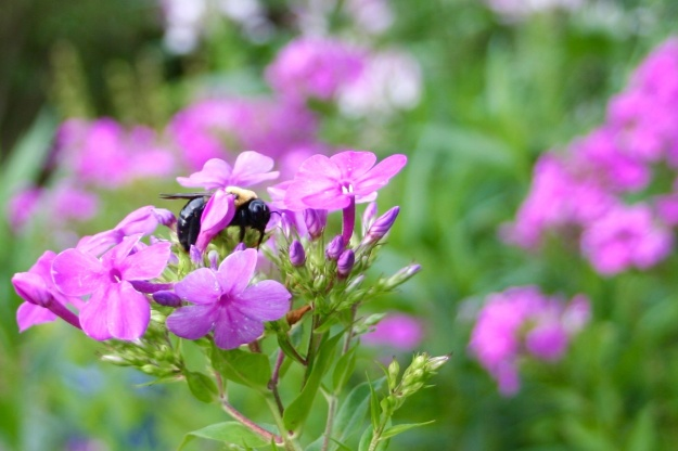 Bee on Phlox paniculata (Garden Phlox)