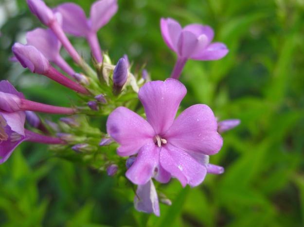 Phlox paniculata 'Robert Poore' (Summer Phlox)