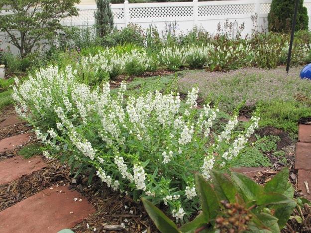 Angelonia 'Serena White' and Thymus serpyllum 'Pink Chintz' (Pink chintz thyme)