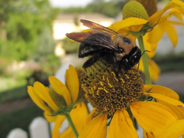 Bee On Rudbeckia hirta 'Irish Eyes'