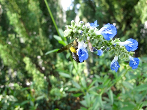Bee On Salvia uliginosa 'Blue Sky' (Bog sage)