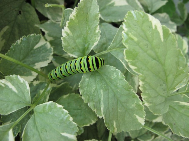 Aegopodium podagraria (bishop's weed) with Eastern Black Swallowtail (Papilo polyxenes) caterpillar