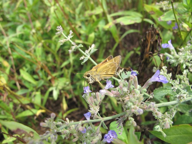 Fiery Skipper (Hylephila phyleus) On Nepeta 'Walker's Low' (Catmint)