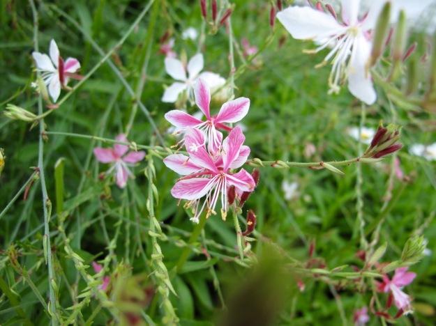 Gaura lindheimeri 'Passionate Blush' (Butterfly Gaura)