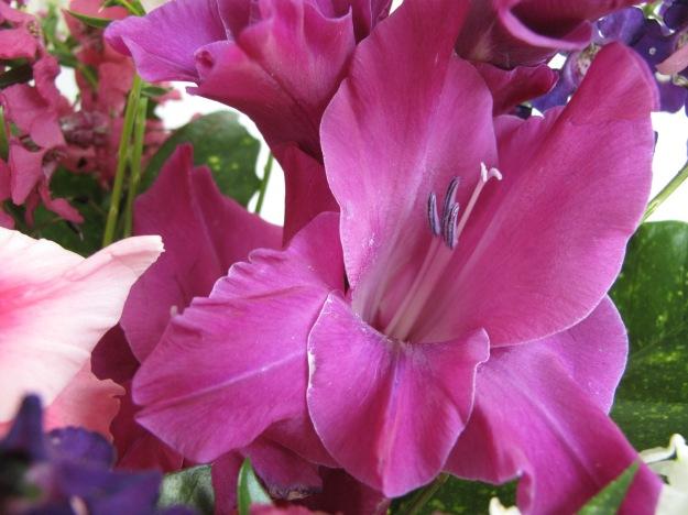 Magenta Gladiolus